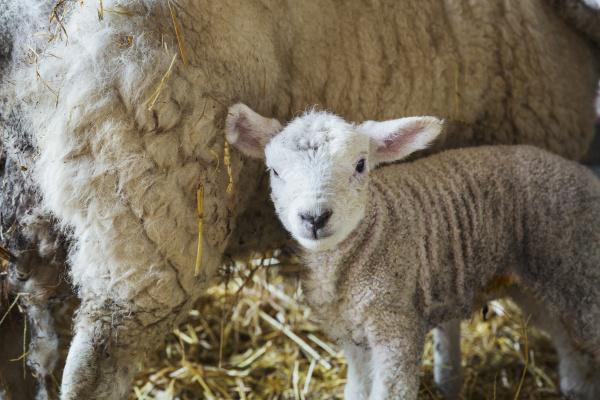 ewe mit neugeborenem lamm in einem