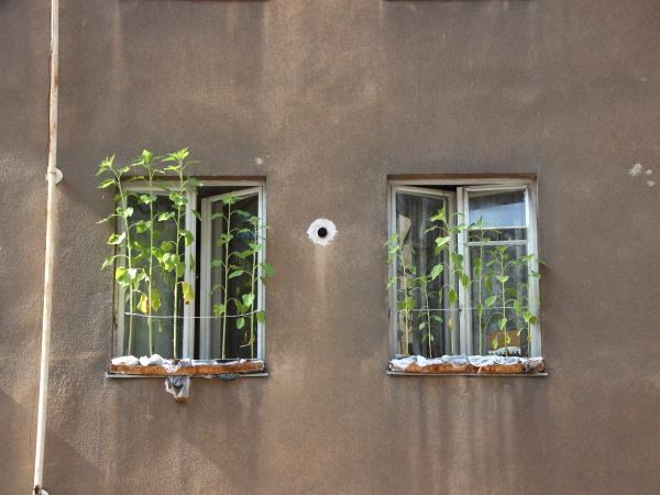 sonnenblume waechst in urban flower box