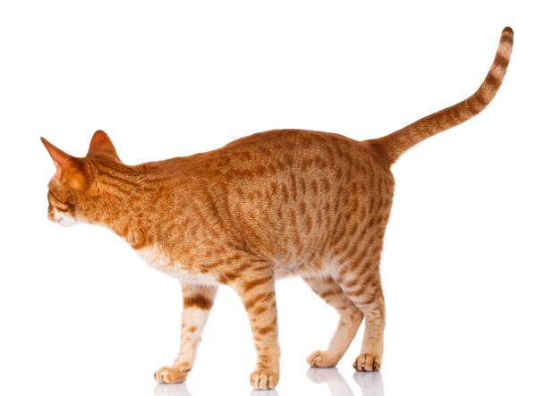 ocicat katze auf einem weissen hintergrund
