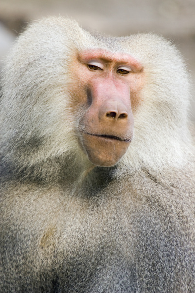 portrat eines pavians papio hamadryas