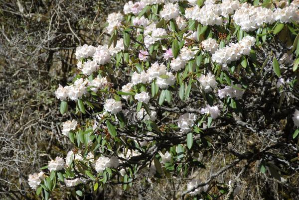 weiss und rosa bluhender rhododendron gen