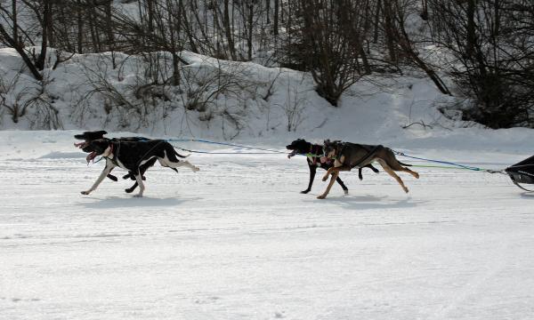 hund schlittenhunde husky polarhunde rennen schlittenhunderennen