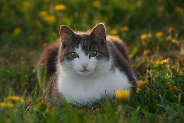 hauskatze felis catus in lowenzahnwiese