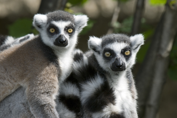 kattas lemur catta zoo salzburg