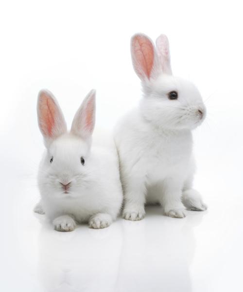 zwei weisse kaninchen