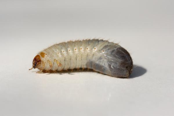 larve eines maikafers engerling melolontha