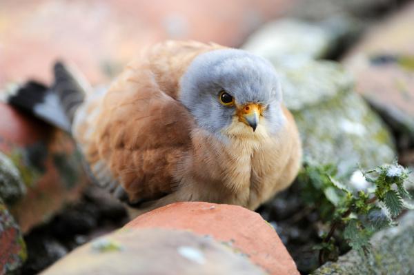 rotelfalke falco naumanni mannlich