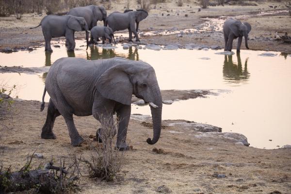 afrika namibia etosha nationalpark afrikanische elefanten