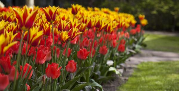 tulpen im fruehling bunte tulpen