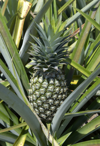 unreife ananas auf einer plantage