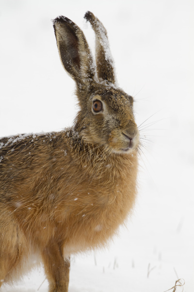 feldhase lepus europaeus im schnee