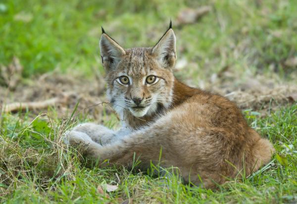 junger luchs lynx lynx liegt