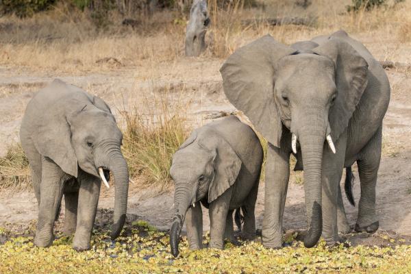 sambia african bush elephant