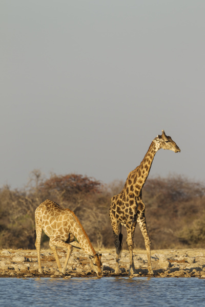southern giraffe giraffa camelopardalis giraffa