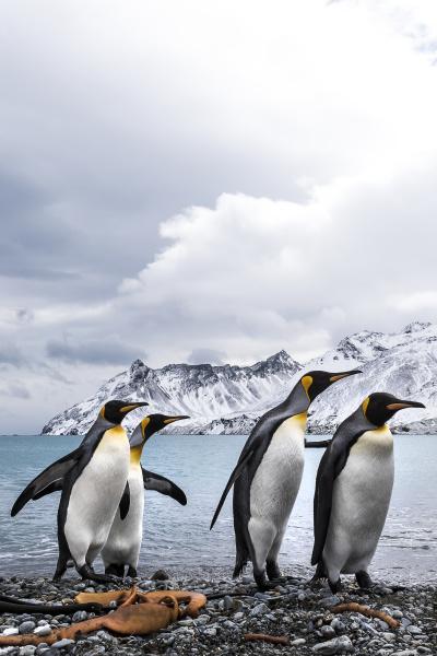 vier koenigspinguine aptenodytes patagonicus auf einem