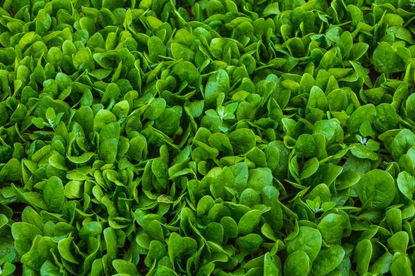 detail eines frischen spinatfeldes