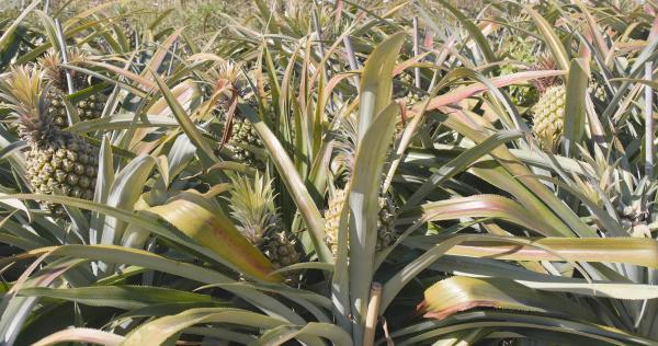 ananasplantage bauernhof