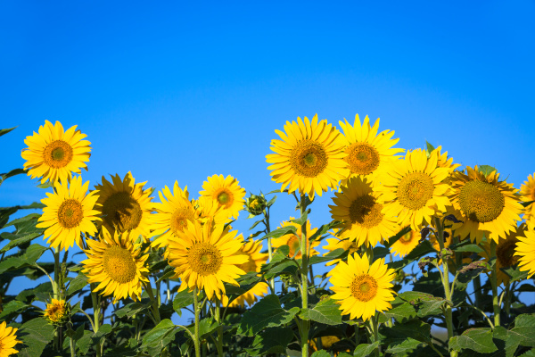 sonnenblumen unter blauem himmel