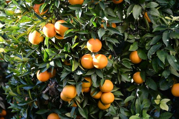 orangen am baum auf dem feld
