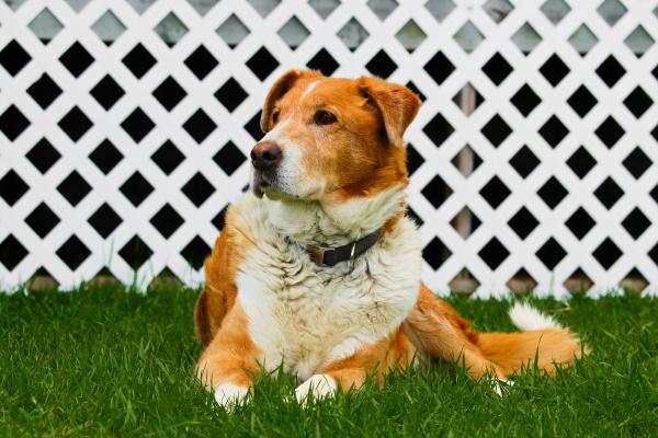 alter bauernhofhund sitzt auf gras mit