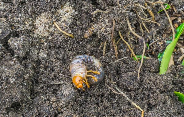 grub larva im sand des gartens