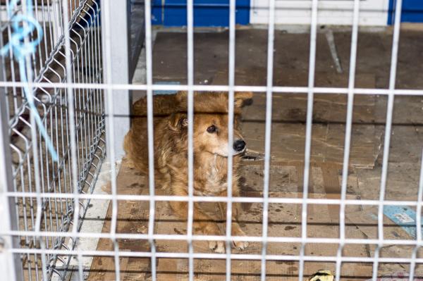 obdachloser roter hund im tierheimkaefig