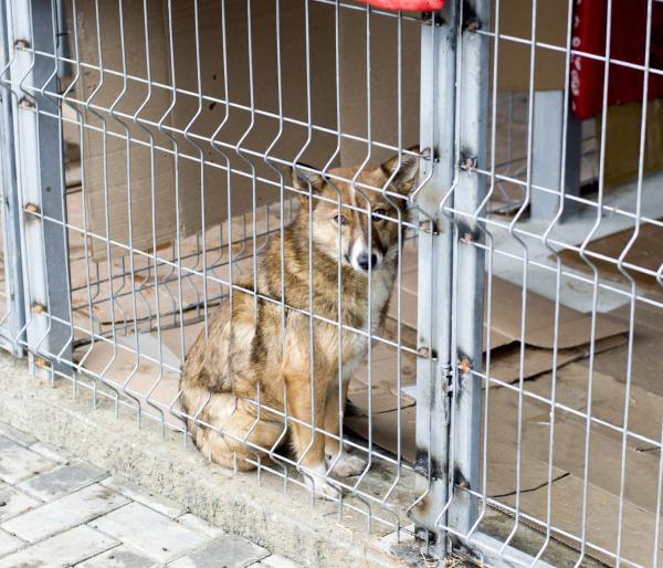 rothaariger streunender hund im tierheimkaefig