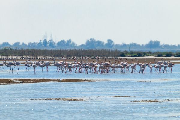 flock von rosa flamingos po fluss