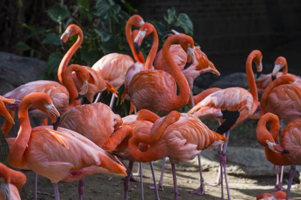 usa louisiana flamingos phoenicopteridae