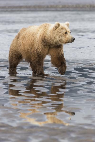 usa alaska ein weiblicher grizzlybaer