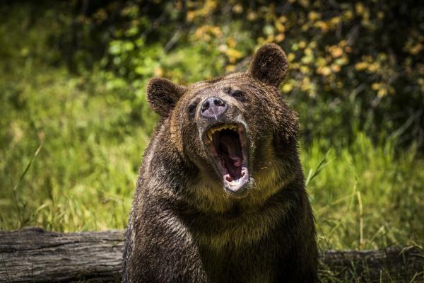 grizzlybaer montana usa