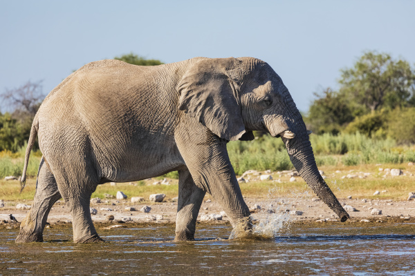 namibia etosha nationalpark afrikanischer elefant beim