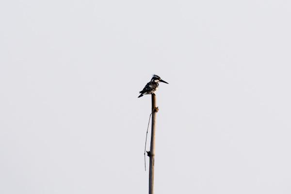 nahaufnahme von hoopoe vogel oder haarige