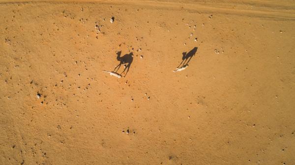 luftaufnahme von ein paar kamelen in