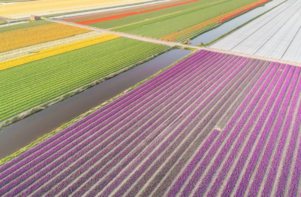luftaufnahme von bunten bluehenden tulpenfeldern in