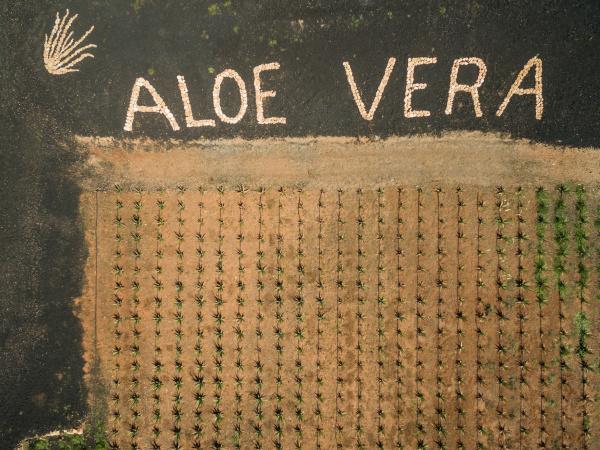 luftaufnahme der aloe vera plantage auf