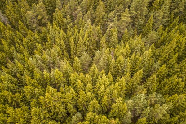 luftaufnahme eines nordischen gruenen pinienwaldes auf