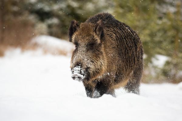 grosses wildschwein watet im winter durch