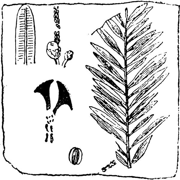 sequoia langsdorfii vintage gravur