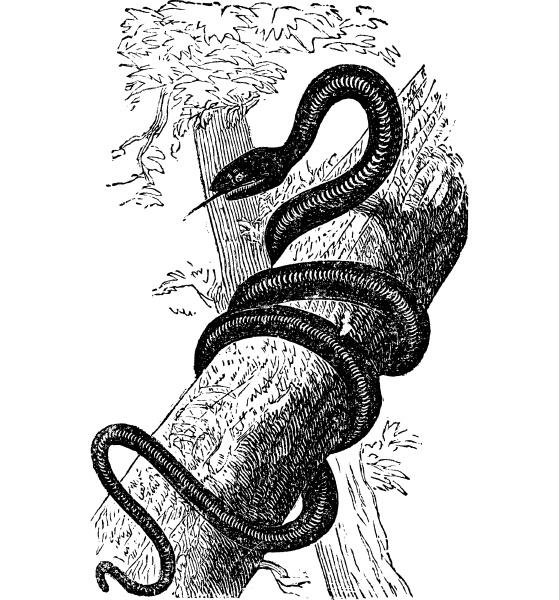 eastern racer oder coluber constrictor vintage