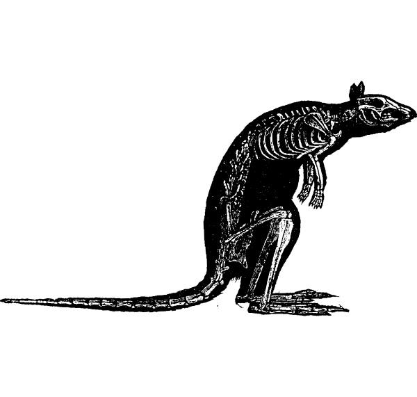 kaenguru skelett vintage gravur