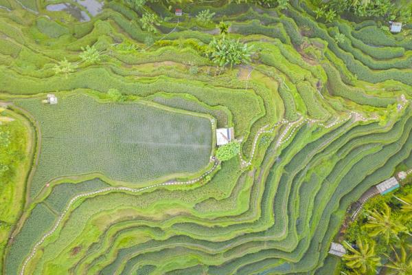 luftaufnahme ueber tegallalang rice terrace touristenattraktion