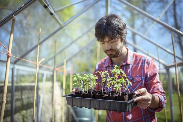 gaertner pflanzt tomatensaemlinge im gewaechshaus im