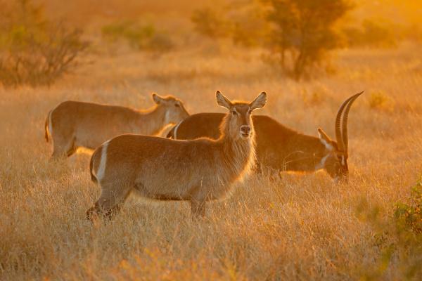 hinterleuchtete wasserbockantilopen krueger nationalpark