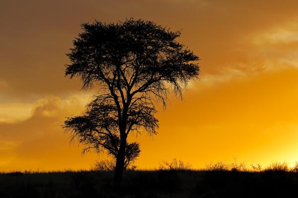 afrikanischer sonnenuntergang mit silhouettendem baum