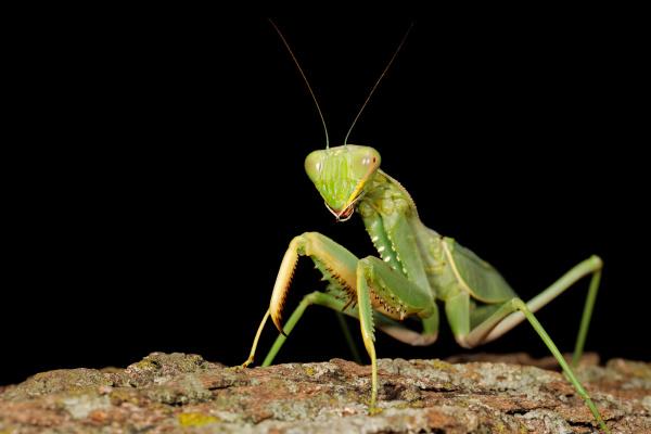 gewöhnliche, grüne, mantis - 27673758