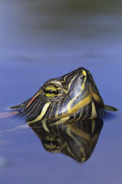 rotohren slider trachemys scripta elegans erwachsenenschwimmen