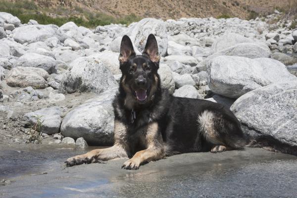 deutscher schaeferhund pr