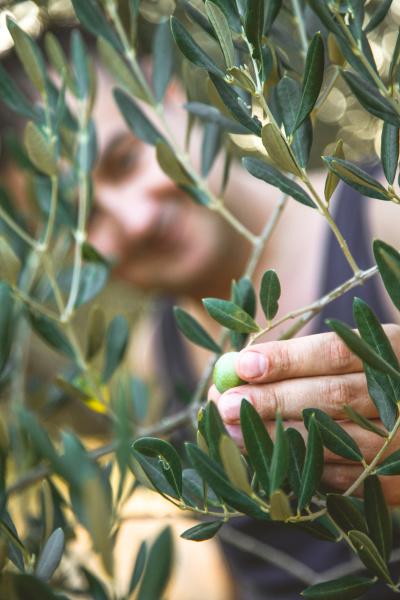 olivenernte im herbst