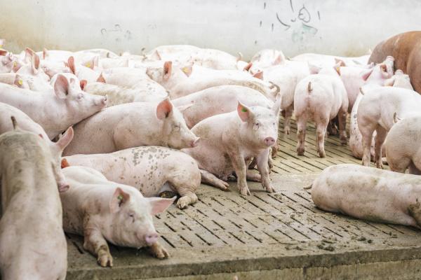 schweine auf hartholzboden bei pigpen